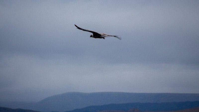 Un condor des Andes près du volcan Ruminahui.