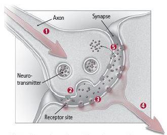 How neurons communicate