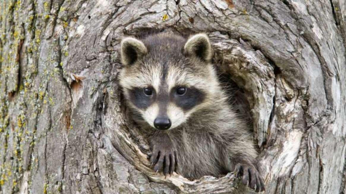 reason-raccoon1