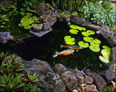 koi pond in garden area