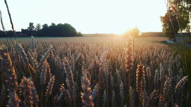 säden mognar i solens glöd