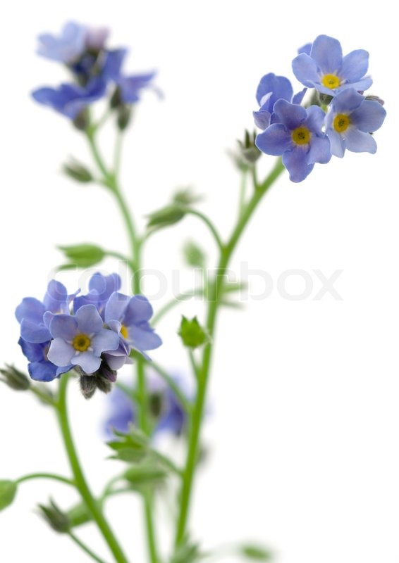Forget me not flowers on white background   Stock Photo   Colourbox Forget me not flowers on white background  stock photo