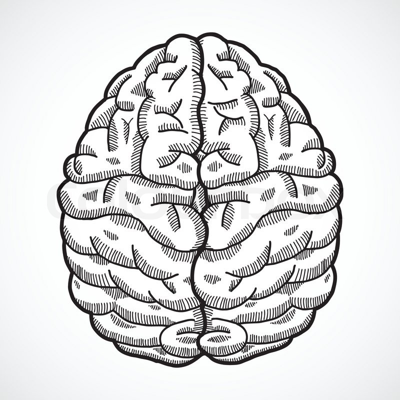 Human Brain Cortex Top View Sketch Isolated On White