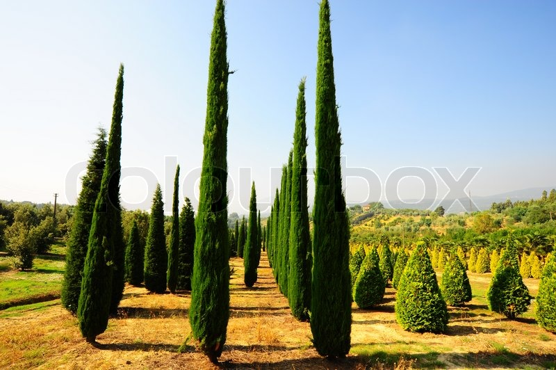 Cypress Trees In The Nursery Garden In Tuscany Italy Stock Photo Colourbox