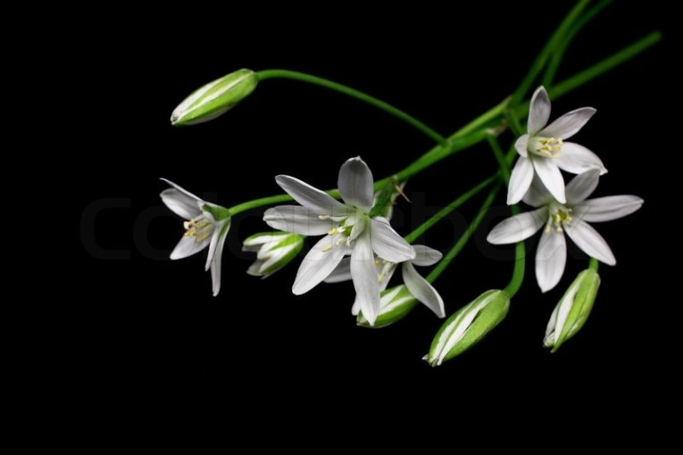 Beautiful soft white flowers on black background   Stock Photo     Beautiful soft white flowers on black background   Stock Photo   Colourbox