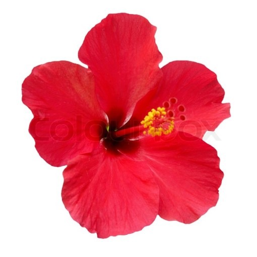 Red flower  Hibiscus rosa sinensis  isolated on white   Stock Photo     Red flower  Hibiscus rosa sinensis  isolated on white  stock photo