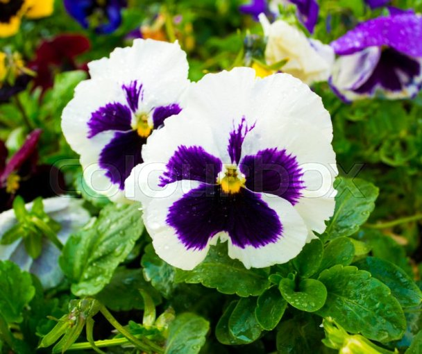 Violet flower  Pansies  flower Pansy  Colorful pansies  White     Stock image of  Violet flower  Pansies  flower Pansy  Colorful pansies   White