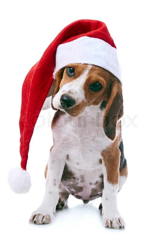 Beagle Puppy In Santa Red Hat Over White Background