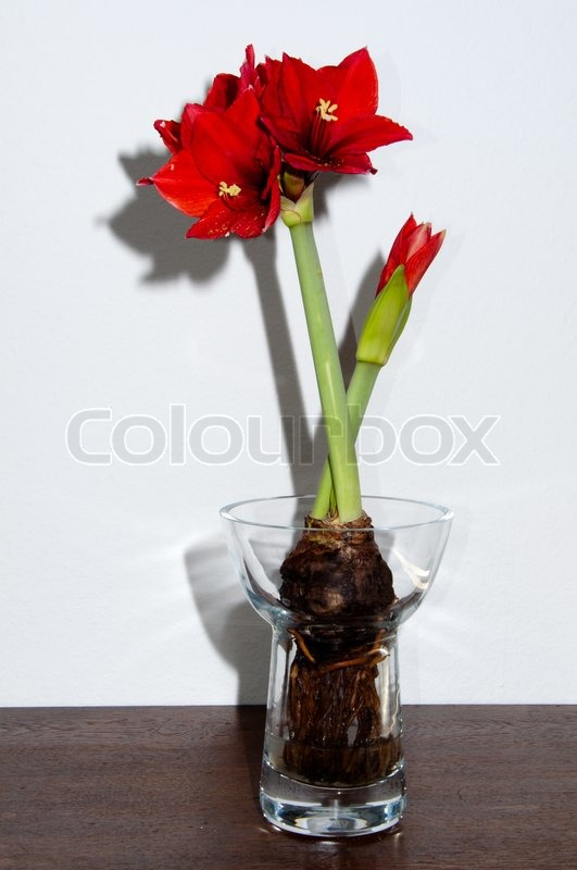 Close Up Of A Red Amaryllis Withbulb And Roots In Glass