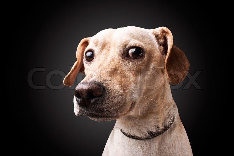 Dog On Black Background Stock Photo Colourbox