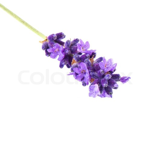 Closeup of lavender flower isolated on white background   Stock     Closeup of lavender flower isolated on white background   Stock Photo    Colourbox
