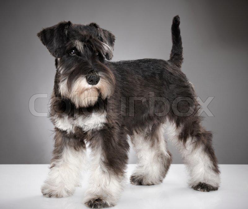 Miniature Schnauzer Puppy Stock Photo Colourbox