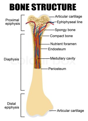 Diagram of human bone anatomy useful for education in