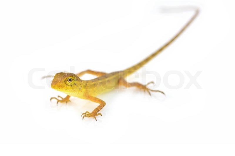 Yellow Lizard Stock Photo Colourbox