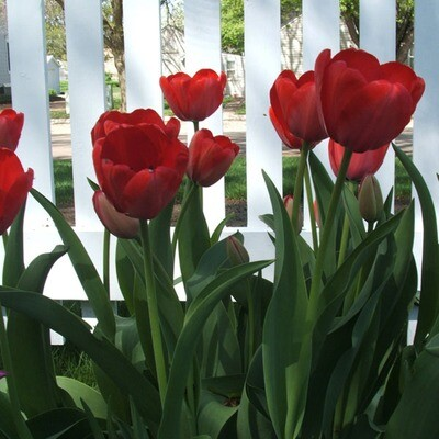 Red Tulips (25 bulbs)