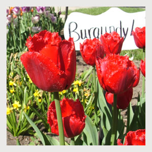 Burgundy Lace (10 Bulbs)