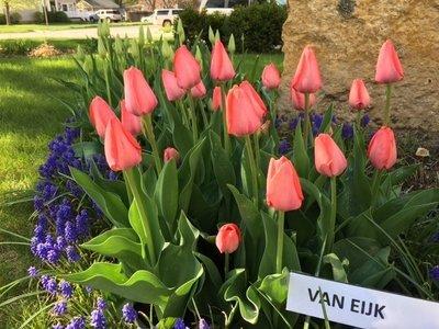 Van Eijk(10 Bulbs)