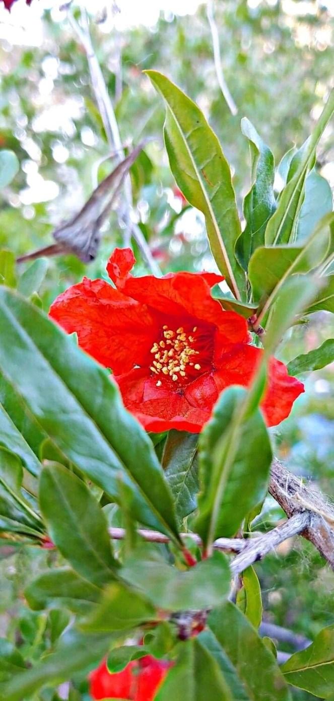 Pomegranate Flower Essence