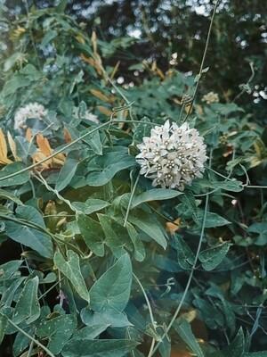 Funastrum Flower Essence