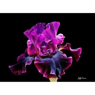Deep Purple Iris -- Jeff Lane