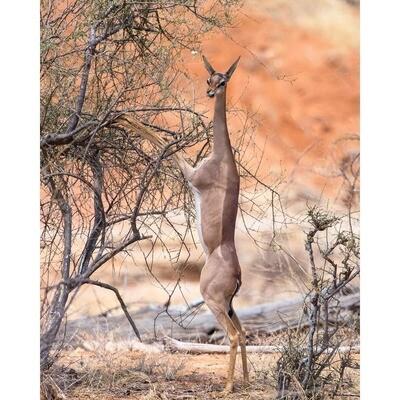 Gerenuk Eating -- Jeff Lane