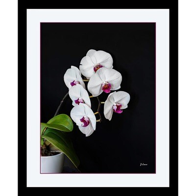 White and Purple Orchids -- Jeff Lane