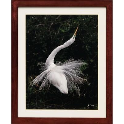 Great Egret in Display -- Jeff Lane