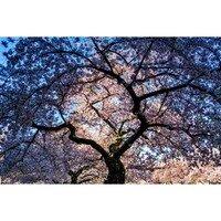 Cherry Blossoms -- Larey McDaniel