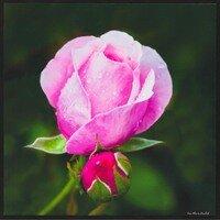 Rose -- Lisa Marie Kostal