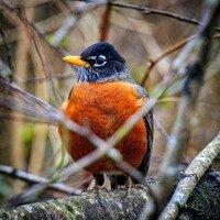 Sir Robin, Forest Guardian -- Phyllis McDaniel