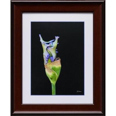 Iris Bud -- Jeff Lane