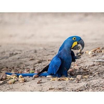 Hyacinth Macaw -- Jeff Lane