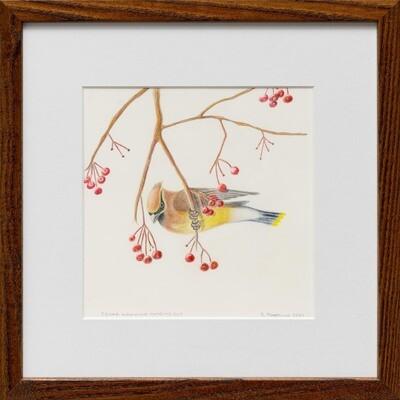 Cedar Waxwing Hanging Out -- Sylvia Portillo
