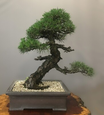 KOTOBUKI JAPANESE BLACK PINE  - SOLD -