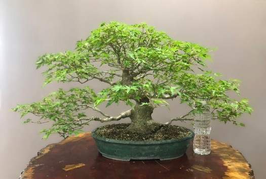 JAPANESE MAPLE  - SOLD -