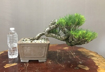JAPANESE RED PINE - SOLD -