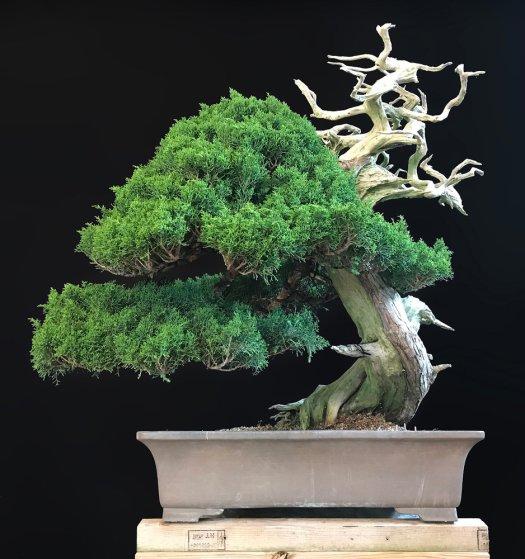 SHIMPAKU 'ITOIGAWA' JUNIPER - SOLD -