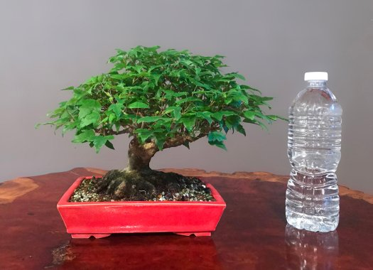 TRIDENT MAPLE - SOLD -