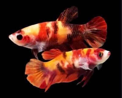 Random Female HMPK Nemo Betta