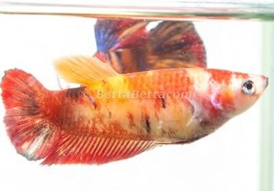 Female Half Moon Koi Red Orange Nemo Candy Koi Betta