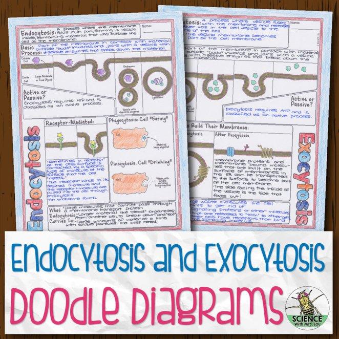 Endocytosis and Exocytosis Doodle Diagrams