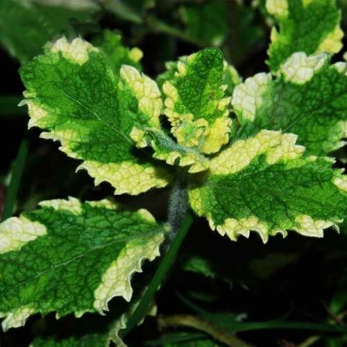 Aromatic Plant Seeds