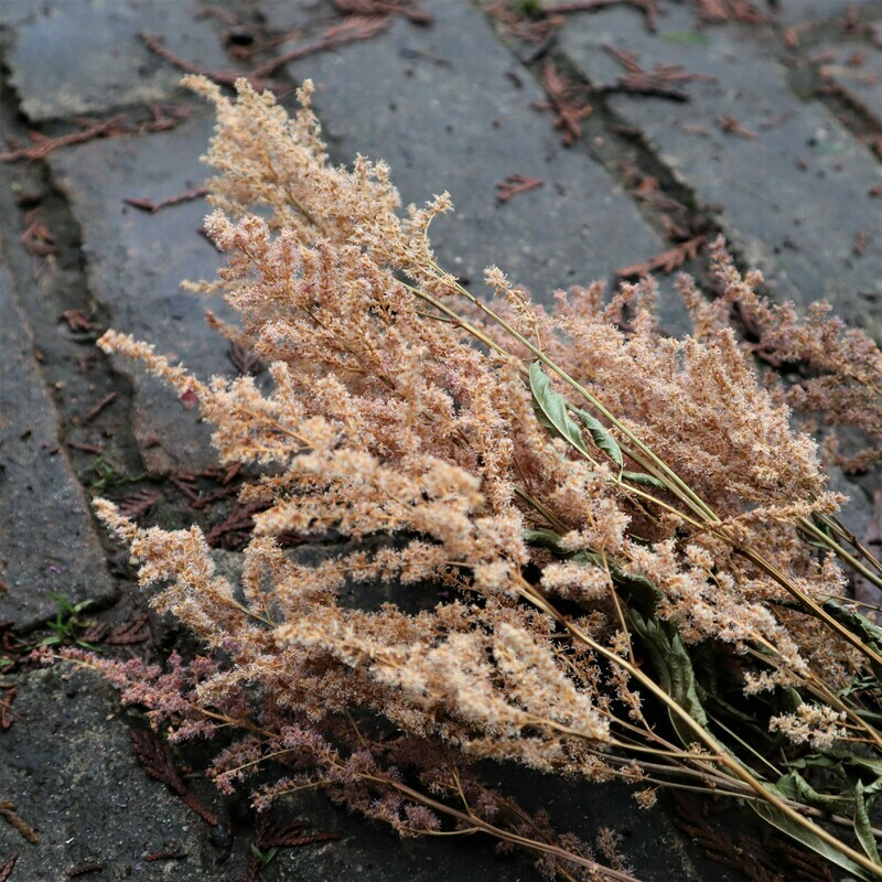 Pale Pink Dried Astilbe Blossoms