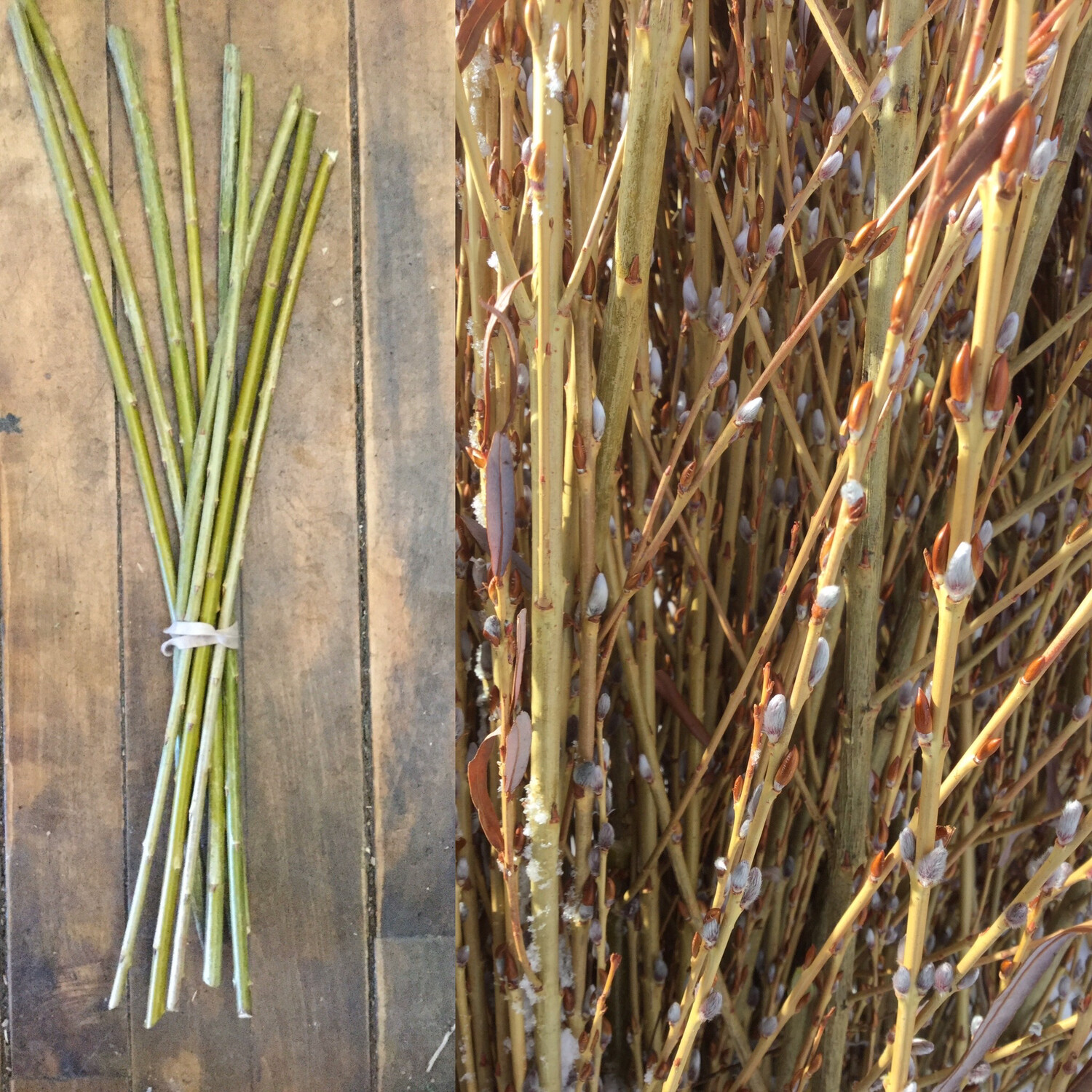 Pussy Willow Delivered From From Our Farm