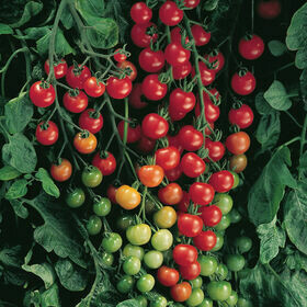 Red Cherry Tomato Plant GALLON SIZE