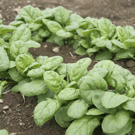 Spinach Vegetable Plant 4-pack