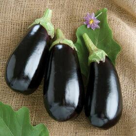 Eggplant Plant 4