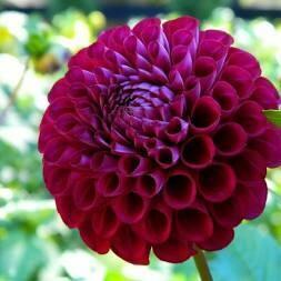 Dahlia Ivanetti Purple/Red-gallon