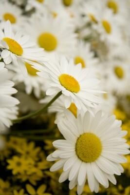 Snowcap Shasta Daisy 4
