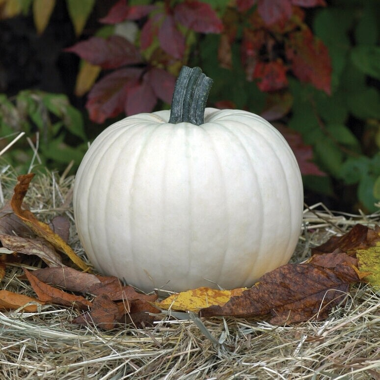 Pumpkin Moonshine White Round medium